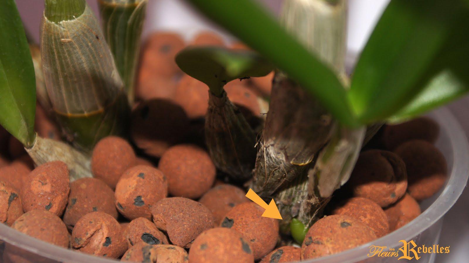 Les fleurs rebelles blog lifestyle diy mes orchid es bourgeonnent - Sur quoi pousse les ananas ...