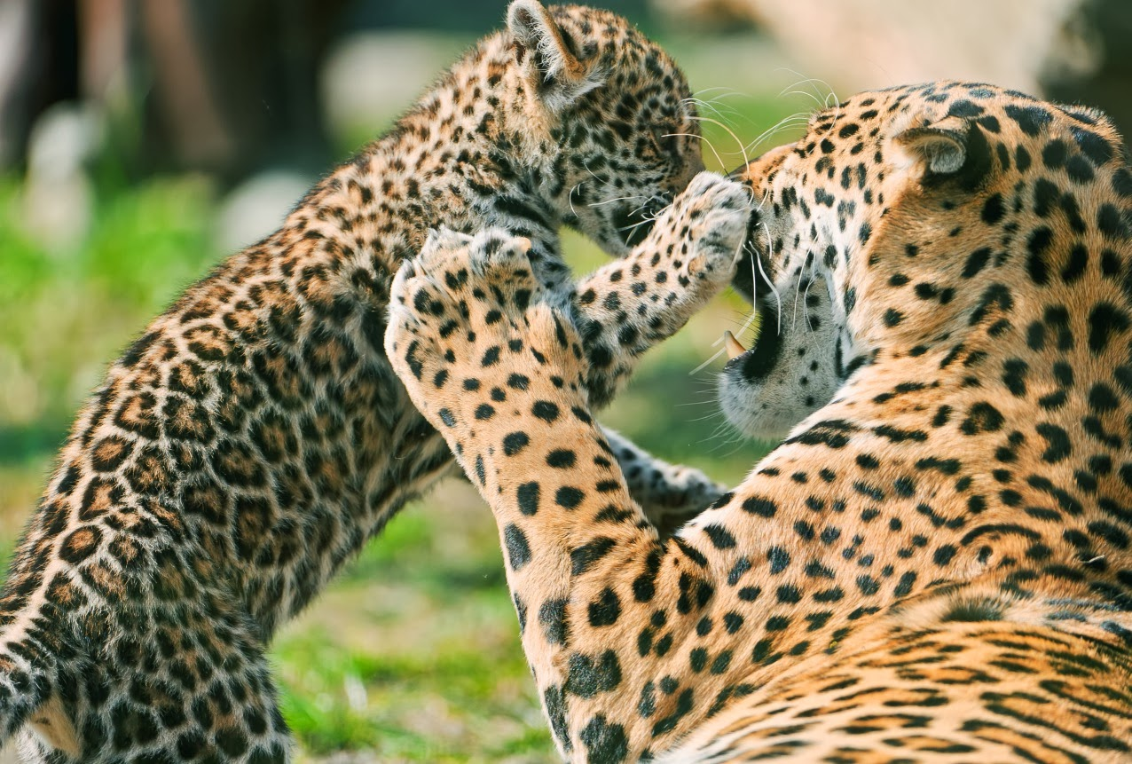 Fondo De Pantalla De Leopardo Fondos De Pantalla Gratis: Descarga Fondos HD: Fondo De Pantalla