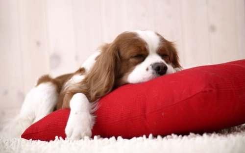 Köpekler Kaç Saat Uyur ?