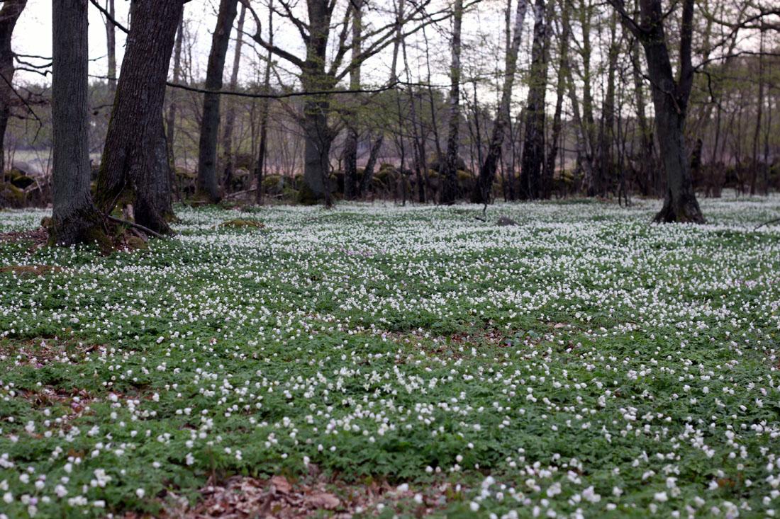 Una forestale in Svezia