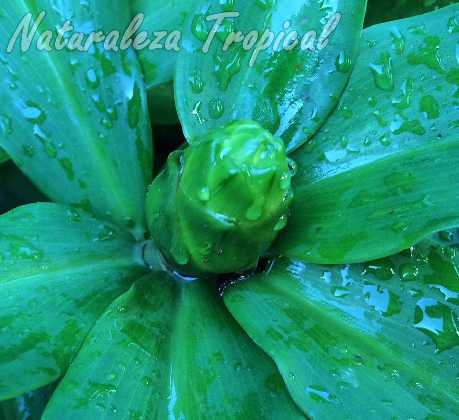 Inflorescencia de formación de la planta ornamental y medicinal, Costus pictus (caña mexicana)