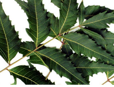 Benefits of Neem for hair, skin and health Controls excess oil