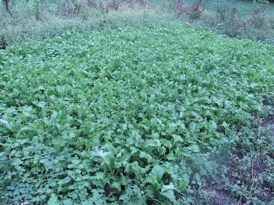 Mustard Greens in the Garden-Vickie's Kitchen and Garden