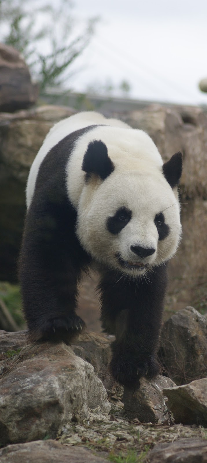 Picture of a panda.