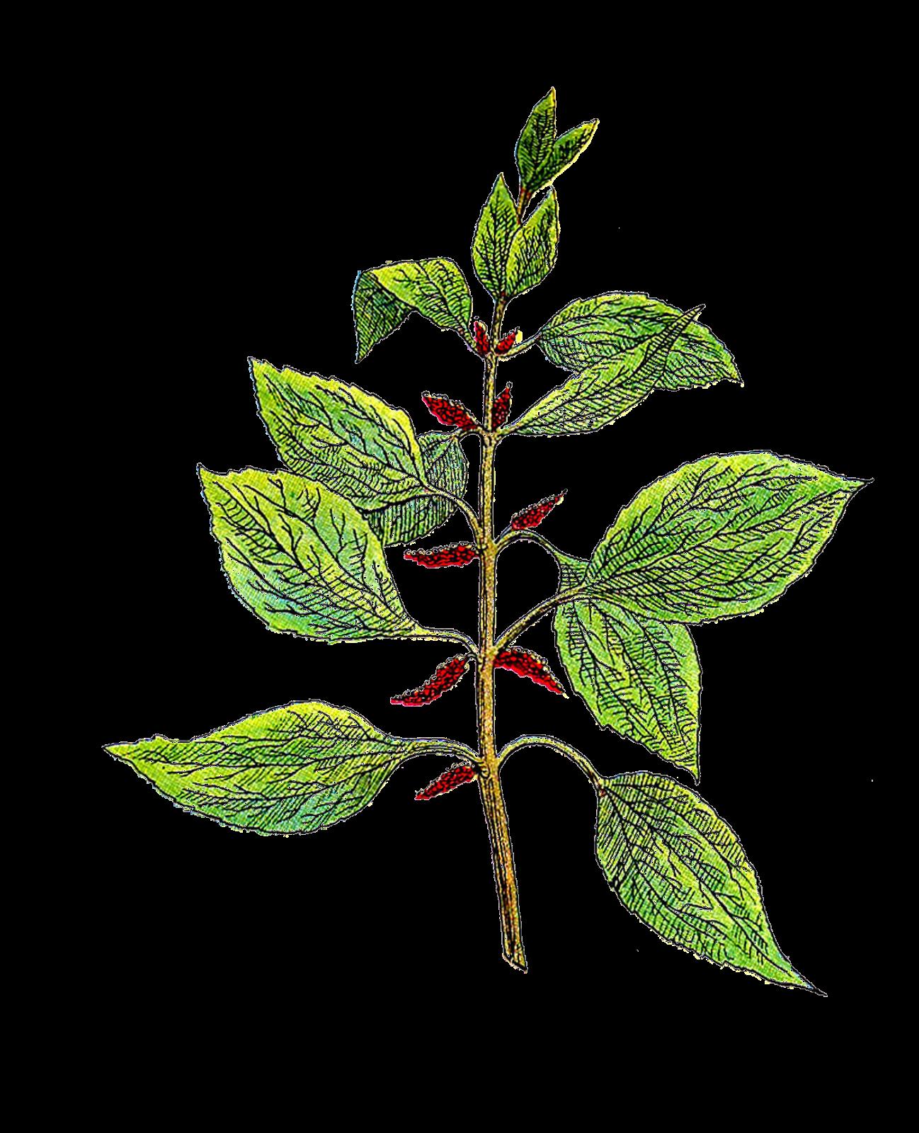plant diagram clip art amp research power step wiring antique images free botanical vintage
