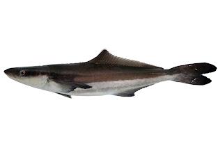 Gevedu:  Jenis-jenis Ikan & Alat Tangkap Ikan Nelayan Perairan Indonesia