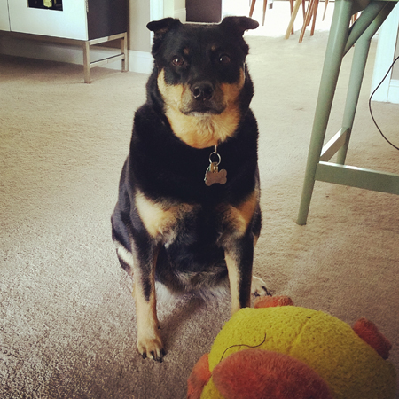 image of Zelda the Black and Tan Mutt sitting in the living room, looking at me