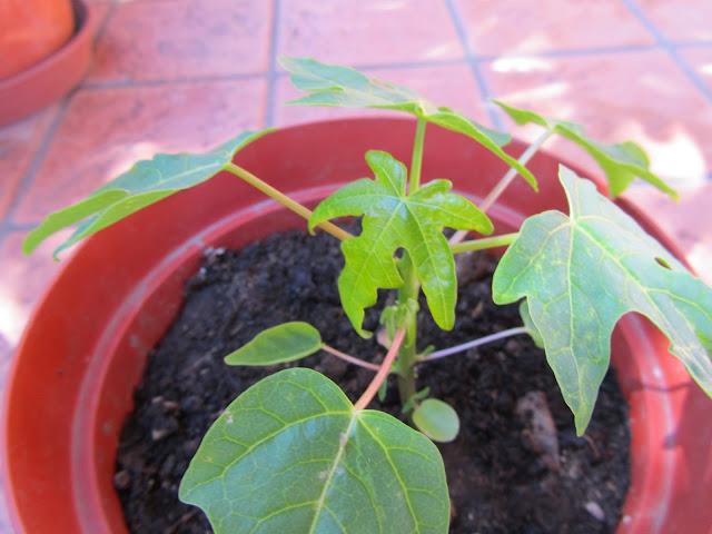 Small Papaya tree