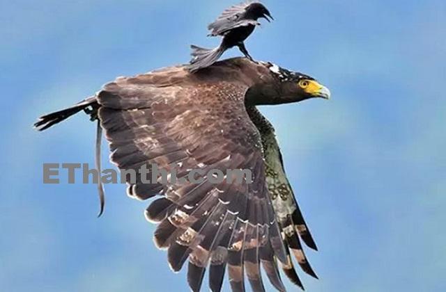பெரிய கழுகை எதிர்த்து தாக்கும் சிறிய பறவை | Small bird to attack large eagle !
