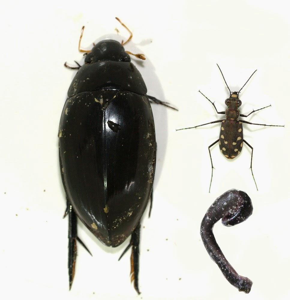 Arizona: Beetles, Bugs, Birds and more: Decidous Tropical