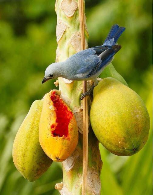 Cultura Guaraní: Carica Papaya, also called Mamón – Flora ...