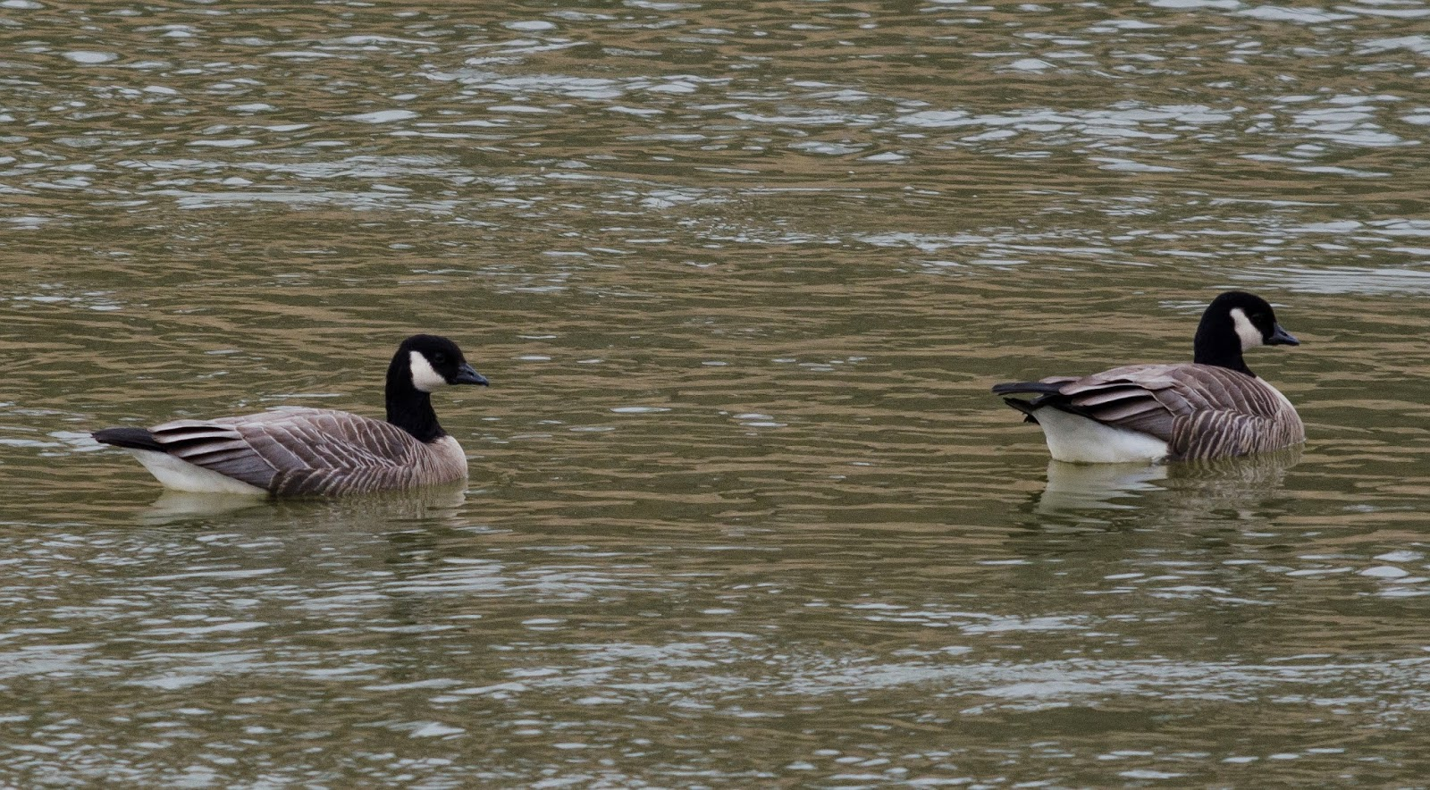 Cackling Geese Ohio