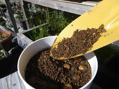 どんぐり 種蒔き 用土をかける