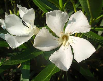 Flor sencilla blanca de la adelfa