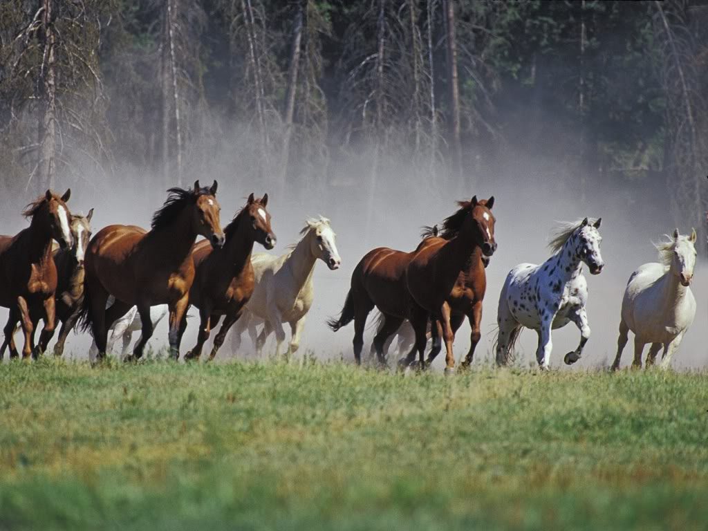 Wild Horses HD Wallpapers – wallpaper202 - photo#43