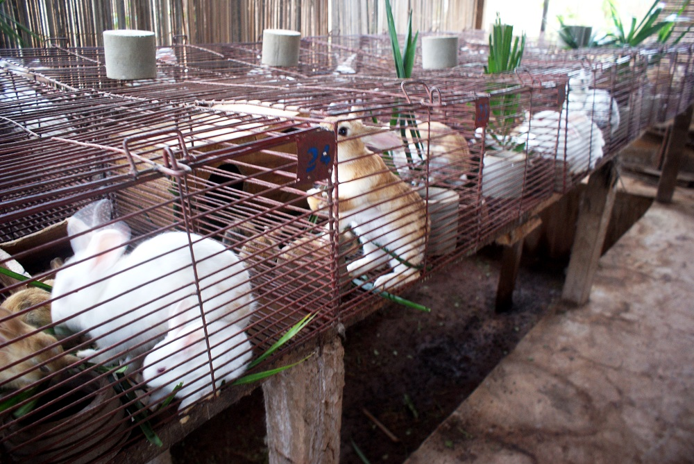 Élevage des lapins au Cameroun