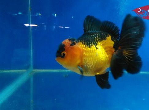 Gambar Ikan Mas Koki