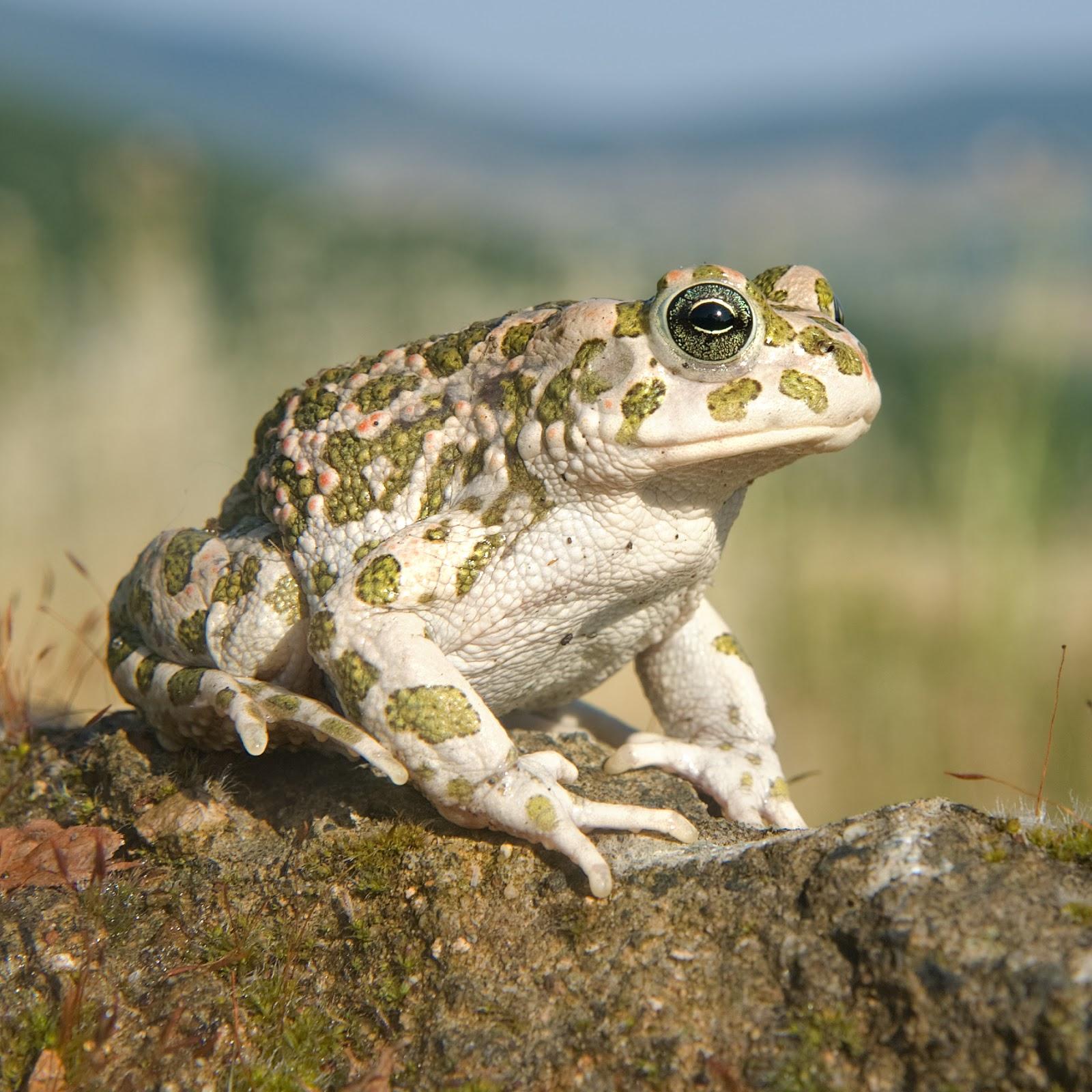 Amphibians: Bufotes balearicus female quadrat
