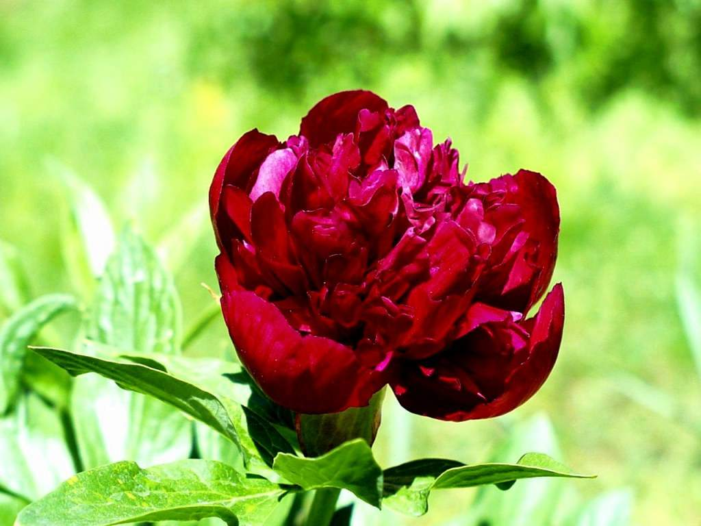 Indian And Paki Wallpapers: Natural Lovely Flowers