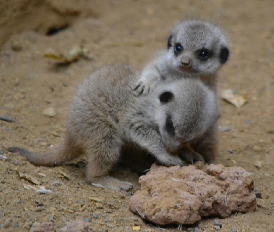 Cute Baby Lizards Wallpaper The Cutest Baby Meerkat Pictures Angelic Hugs