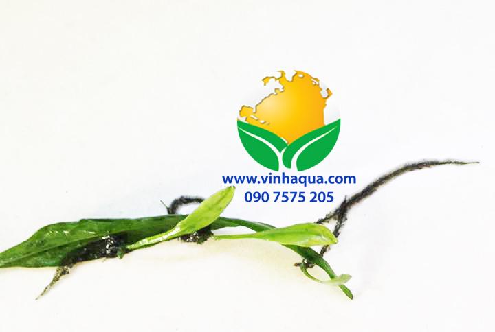 Cây dương xỉ thủy sinh có thể mọc cây con từ lá