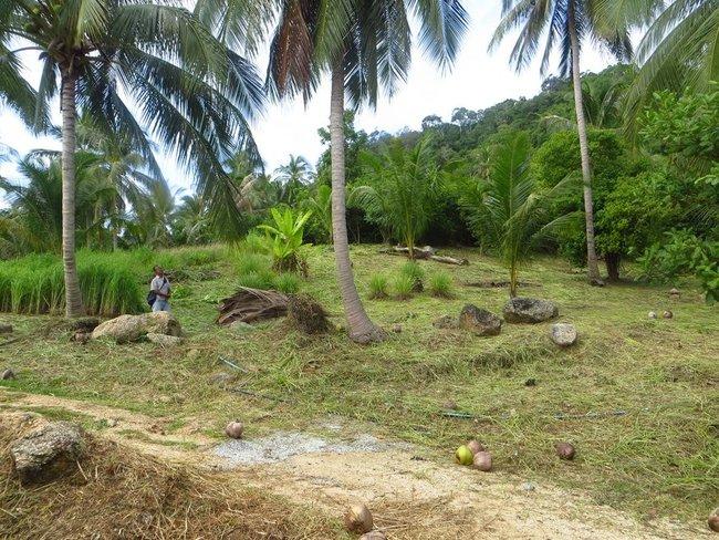 Тренированная макака собирает кокосы
