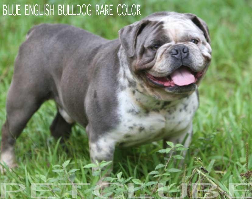 Bulldog Inglês Bluebuldog Cinza Moderno Passa Uma Impressão De