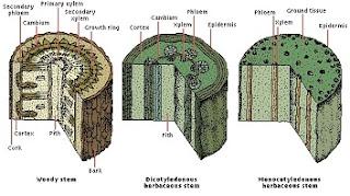 perbedaan daun dikotil dan monokotil,perbedaan akar dikotil dan monokotil,perbedaan batang dikotil dan monokotil secara anatomi,perbedaan batang dikotil dan monokotil dilihat dari strukturnya,