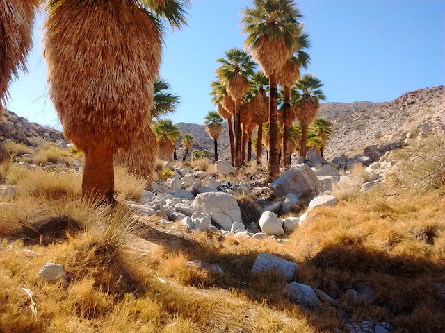 California Fan Palms at Mountain Pine Springs, Anza-Borrego Desert