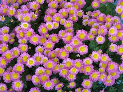 ひらかた菊花展 (岡東中央公園) 特設花壇