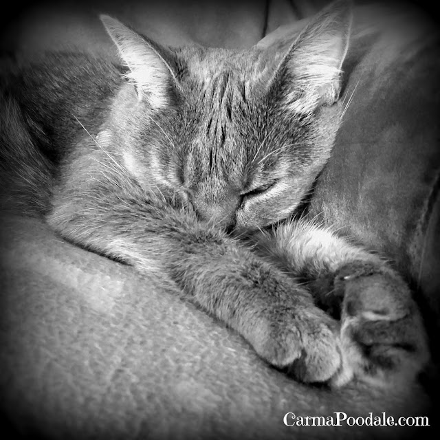 Black and White photo of gray cat sleeping.