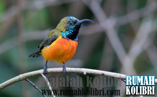 kolibri matari