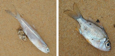 wild shores of singapore: Fishes dying at Pasir Ris?