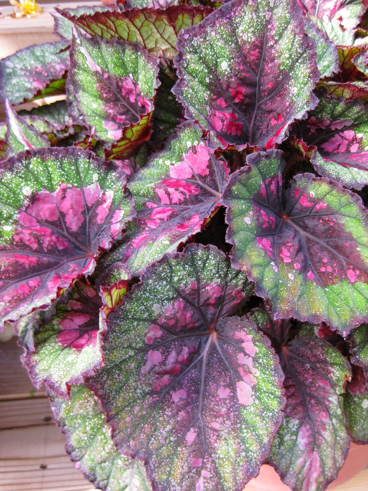 Winter Mode 2015 Rotary Botanical Gardens - Hort Blog: Foliage Begonias