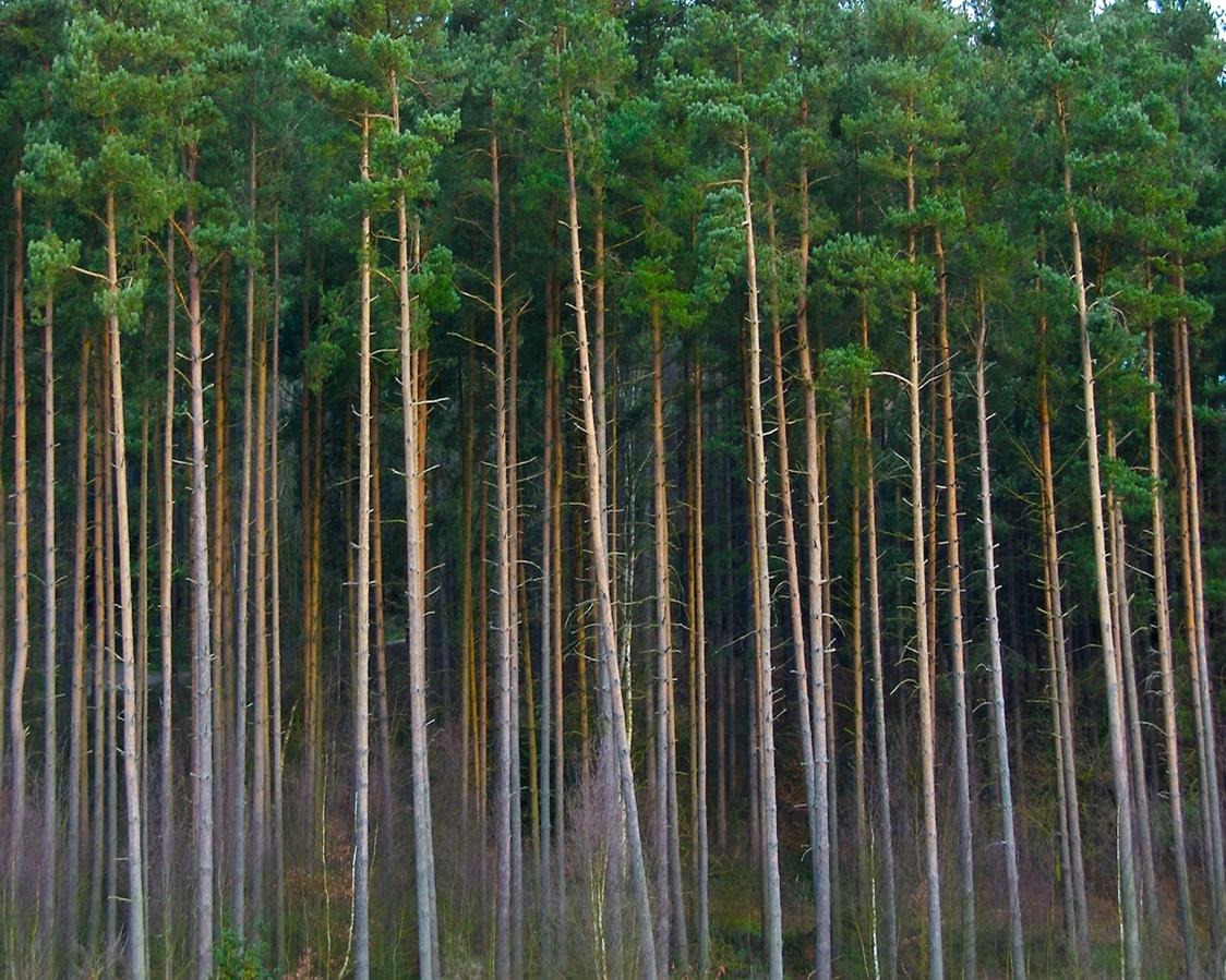 pine tree wallpaper related - photo #29