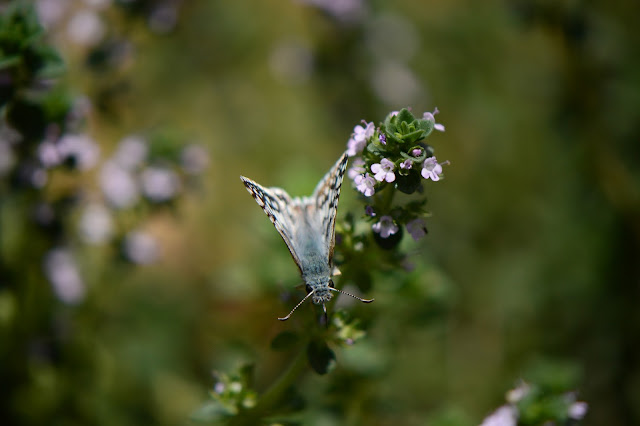 photography, amy myers, journal of a thousand things, butterfly, lemon thyme, summer, spring, desert garden