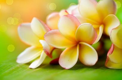 Daftar Harga Bunga Kamboja (Jepun) Terbaru Tahun 2019 be169cbbf1