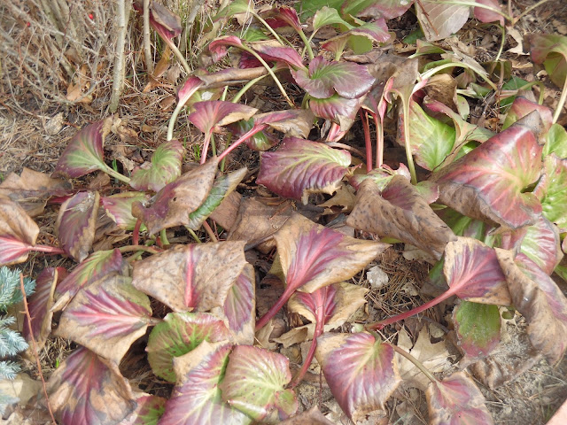 liście bergenii na przedwiośniu