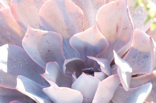 Succulent plant | Images of inspiration in Lavender, Lilac and Mauve
