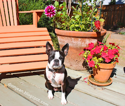 SInead the Boston terrier in the sunshine