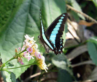 Graphium sarpedon, Common Bluebottle