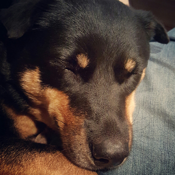 image of Zelda the Black and Tan Mutt in close-up asleep up on my lap