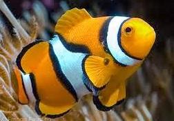 Ikan klon atau clown fish merupakan salah satu jenis ikan hias bahari  Kabar Terbaru- IKAN KLON ATAU NEMO SEMAKIN DIMINATI