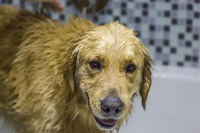 dog getting a de skunk bath