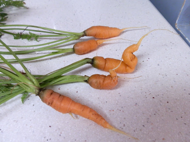 garden carrot flop 2