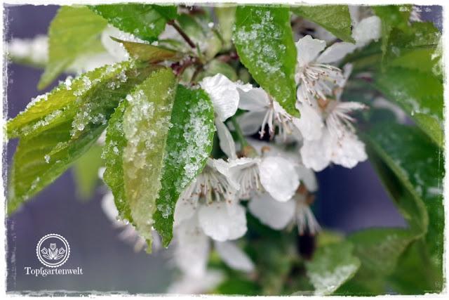 Gartenblog Topfgartenwelt Wetter: Kirschblüten im Schnee Ende April 2017