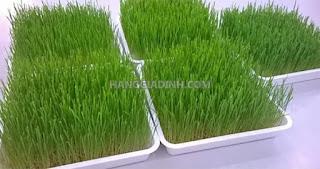 Cỏ lúa mì, hạt giống cỏ lúa mì