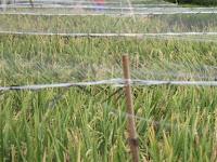 5 Trik Jitu Mengusir Hama Burung Pada Tanaman Padi