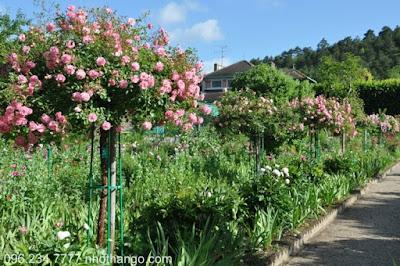 Hồng Thân Gỗ - nhà vườn Khánh Võ - 4
