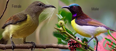purple-rumped sunbird bird, মৌটুসী